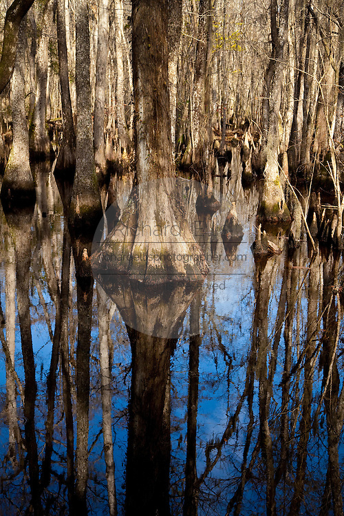 Scene from Francis Beidler Forest at Four Holes Swamp, Dorchester County, SC