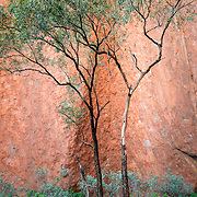 Lone tree at base of Uluru