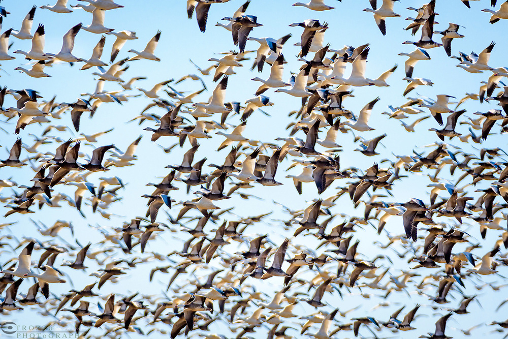 Snow Geese take flight at Blackwater National Wildlife Refuge, Cambridge, Maryland.