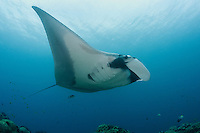A large Pelagic Manta Ray over a cleaning station<br /> <br /> Shot in Indonesia