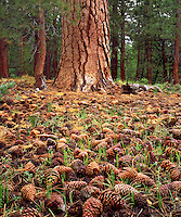 I want to show the life cycle of this forest so I took a photo of these Ponderosa Pine Cones with an old growth parent tree in the background.