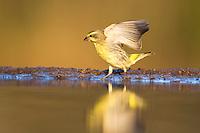 Yellow-eyed Canary landing at water, Zimanga Game Reserve, KwaZulu Natal, South Africa