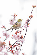 Silvereye perched on a blossom tree, Southland