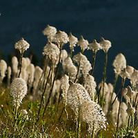 bear grass,