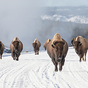 Bison in Yellowstone National Park are on the move, using the plowed highway system!