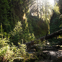 Early morning light streams into Fern Canyon, a canyon in the Prairie Creek Redwoods State Park in Humboldt County, California, USA. It was one of the shooting locations of the movie Jurassic Park 2: The Lost World.