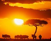 Dawn, wildebeest and acacia tree, Masai Mara Game Reserve, Kenya.