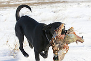 Henry the Black Labrador retriever fetches a  pheasnt in South Dakota