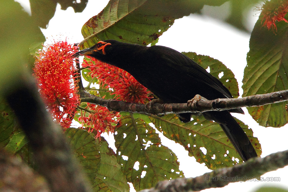 Crow Honeyeater, Gymnomyza aubryana, Riviere Bleue National Park, New Caledonia, endemic, by Adam Riley