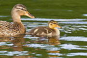A mallard duckling (Anas platyrhynchos) swims with its mother in a channel off Foster Island in the Washington Park Arboretum, Seattle, Washington.