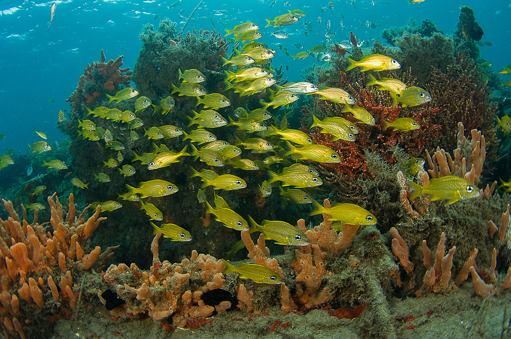 French Grunts (Haemulon flavolineatum) schooling among sponges and corals in the Lake Worth Lagoon, an estuary near the Palm Beach Inlet in Palm Beach County, FL