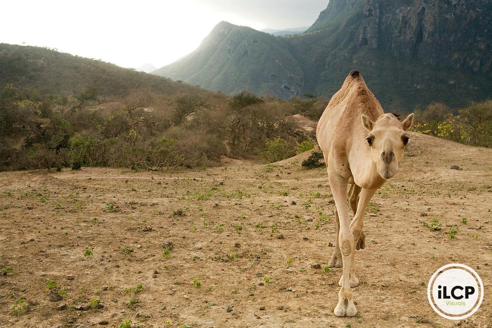 Dromedary (Camelus dromedarius) camel on hillside, Hawf Protected Area, Yemen