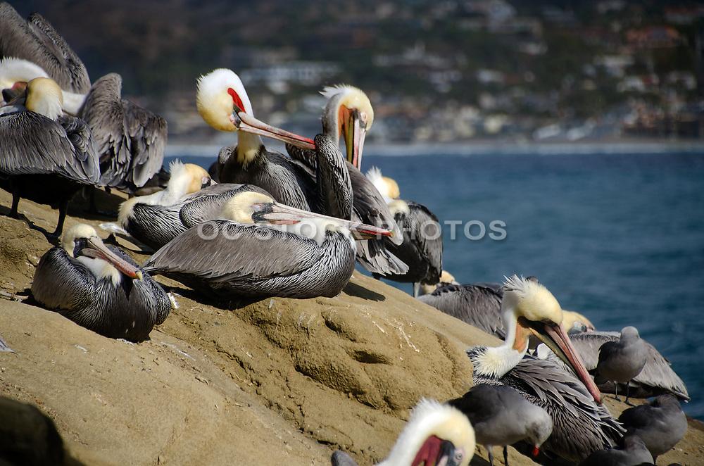 Brown Pelicans on the Rocks in La Jolla