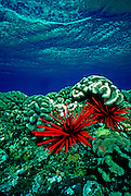UNDERWATER MARINE LIFE HAWAII SEA URCHINS: Slate pencil urchins Echinoidea