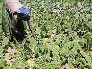 Shanene Asenafi working in her vegetable garden at her home in Kotoba, Ethiopia.