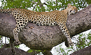 A female leopard (Panther pardus) sleeps in a tree in Kruger National Park, South Africa. http://www.gettyimages.com/detail/photo/leopard-sleeping-in-tree-south-africa-high-res-stock-photography/96621905