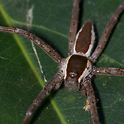 Dolomedes sp, Nursery web spider of the family Pisauridae.