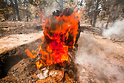 22 JUNE 2010 - FLAGSTAFF, AZ: A tree burns on the line at the Schultz Fire burning north of Flagstaff, AZ. The fire has consumed more than 12,000 acres of forest land and burned within a few feet of homes in some neighborhoods in Flagstaff.   PHOTO BY JACK KURTZ