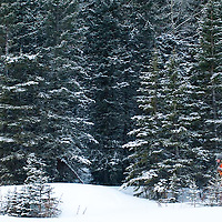 hunter packs elk anters through heavey snow winter elk hunting fir trees rocky mountains