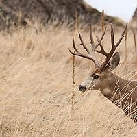 mule deer buck in open grass pine forest habitat