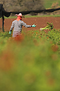 Thai Migrant Workers, pick flowers for export in a farm in souther Israel