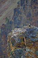 Ospry Nest, Grand Canyon of the Yellowstone River - A birds Eye View