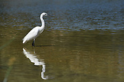 Little Egret (Egretta garzetta) wading in water, Photographed in Israel in August