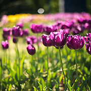 Purple tulips in bloom at the Netherlands Carillon next to Arlington National Cemetery and the Iwo Jima Memorial. First donated in 1954, the Carillon was moved to its current location in 1960. It was a gift of the Netherlands to the United States in thanks for US aid during World War II.