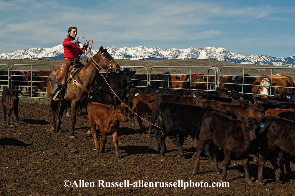 Cowgirl Jessica Sarrazin ropes and drags calves to the fire to be branded, Wilsall, Montana, Bridger Mountains, <br /> MODEL RELEASED, PROPERTY RELEASED
