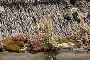 Flowering lupin plants growing on thatched cottage roof, Coverack, Lizard Peninsula, Cornwall, England, UK