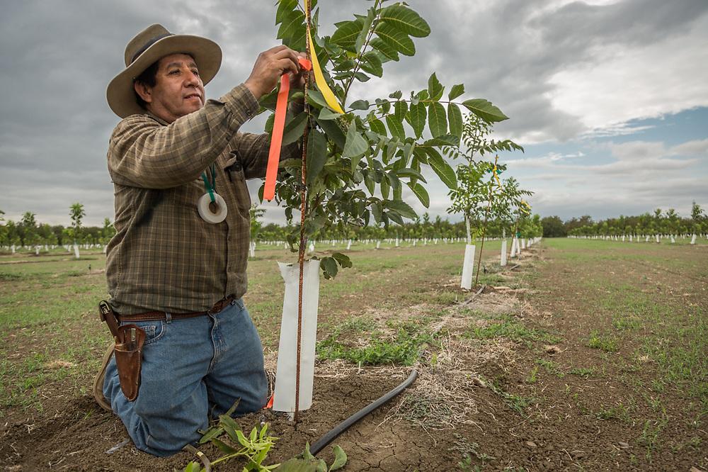 Ranchhand Gilbert Rodriguez grafts walnut trees near Winters, California