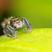 The jumping spider family (Salticidae) contains more than 500 described genera and about 5,000 described species, making it the largest family of spiders with about 13% of all species.