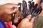 10 APRIL 2010 - PLA PAK, NAKHON PHANOM, THAILAND: A man repairs the wing of his fighting cock at a pit in rural Thailand. He used feathers from birds his cock defeated in previous fights. The rooster has been in six fights and won them all. He also his fight Saturday. Cockfighting is enormously popular in rural Thailand. A big fight can bring the ring operator as much as 200,000 Thai Baht (about $6,000 US), a large sum of money in rural Thailand. Fighting cocks live for about 10 years and only fight for 2nd and 3rd years of their lives. Most have only four fights per year. Fighting cocks in Thailand do not wear the spurs or razor blades that they do in some countries and most times the winner is based on which rooster stops fighting or tires first rather than which is the most severely injured. Although gambling is illegal in Thailand, many times fight promoters are able to get an exemption to the gambling laws and a lot of money is wagered on the fights. Many small rural communities have at least one cockfighting arena.   PHOTO BY JACK KURTZ