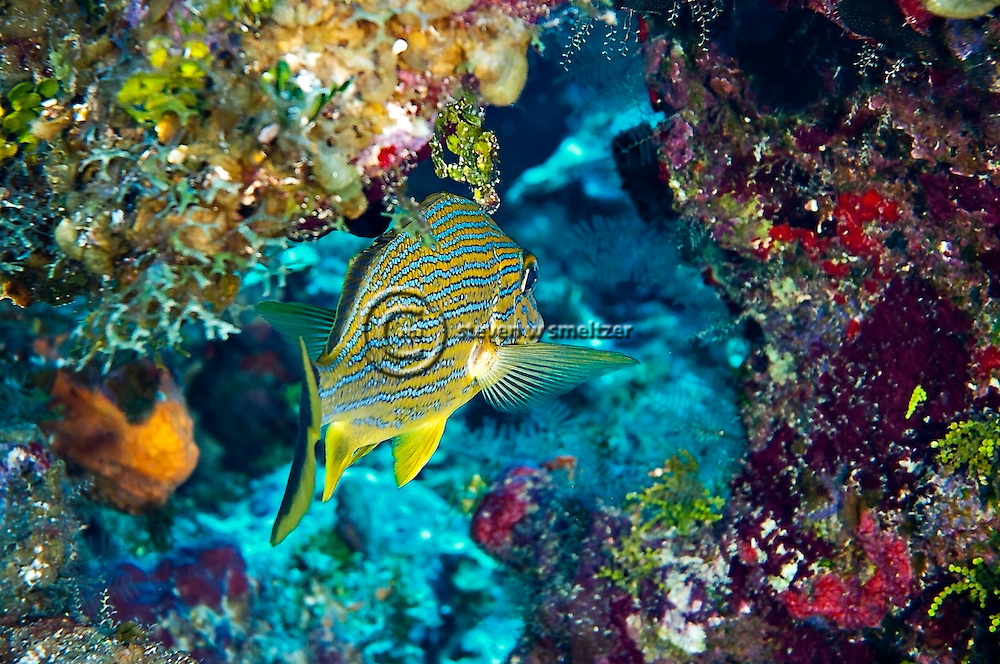 Bluestriped Grunt, Haemulon sciurus, Grand Cayman