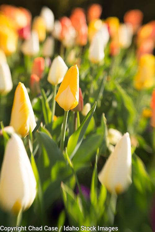 Tulips shot with a tilt shift lens.