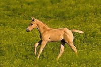 Quarter horses in a field of sweet clover, Hell's Canyon, Black Hills Wild Horse Sanctuary, near Hot Springs, Black Hills, South Dakota USA