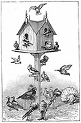Pigeons used by Charles Darwin at Down House, near Beckenham, Kent, England,  during his work on his theory of descent. Wood engraving, 1887.
