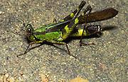 Monkey Grasshopper; Erianthus; <br /> Indonesia, Borneo, W. Kalimantan, Bentuang-Karimun National Park