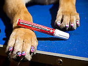 Nail art for dogs: the latest trend for pampered pooches is barking mad<br /> <br /> Your dog can already enjoy pampering session at doggie grooming parlours and sport its own designer outfit from luxe labels Mulberry and Burberry.<br /> But now there's a new fashion for the stylish canine.<br /> Hot on the paws of dip-dyes for dogs comes doggie nail art - the latest word in pedicures for pampered pooches.<br /> Doggie nail art is taking the US by storm and being applied in salons up and down the continent.<br /> The trend appears to be the next big thing for zany dog lovers such as to US Apprentice star Aubrey O'Day who recently gave her own dogs a pastel-coloured dip-dye make-over.<br /> <br /> Warren London, the website of an American doggie-product wholesalers which sells special Pawdicure Polish Pens for either salon or at-home use, proves that there are no limits to the lengths owners will go to beautify their dogs.<br /> It even features a blog where proud owners upload shots of their own efforts practised on long-suffering pooches.<br /> The tongue-in-cheek names of the colours certainly give our own Nails inc. a run for its money with hues amusingly titled Paw-ty In Pink, Smooch The Pooch Purple, Orange You Glad I'm Neon and Walk In The Park Green.<br /> <br /> For fidgety customers, the varnishes are quick drying and are ready for walkies in only 40 seconds.<br /> The makers boast that, 'only one layer application is necessary for that great look for your pampered pup.'<br /> Fortunately for Fido and co though, said pens are water based and non toxic.<br /> The site also features an online tutorial to ensure that users get the best our of their Pawdicure Polish Pens.<br /> It would seem that celebrity nail art fans such as Katy Perry have got a lot to answer for.<br /> However, whether the trend translates to the British market remains to be seen.<br /> ©WarrenLondon/Exclusivepix