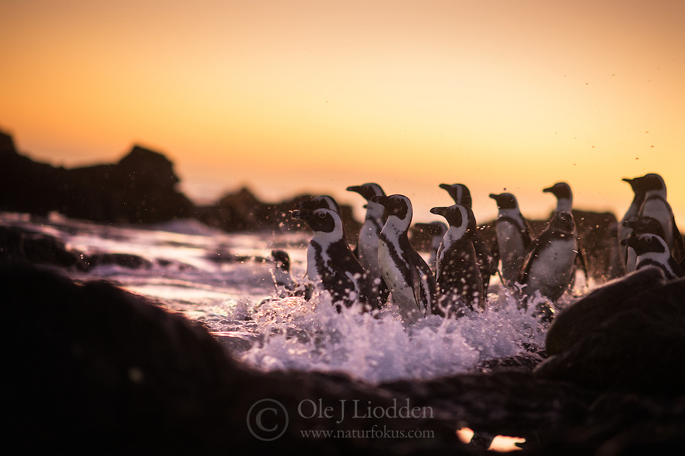African Penguin (Spheniscus demersus) at Bird Island in Algoa Bay, South Africa
