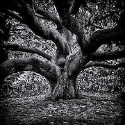 Magnolia tree branches in black and white