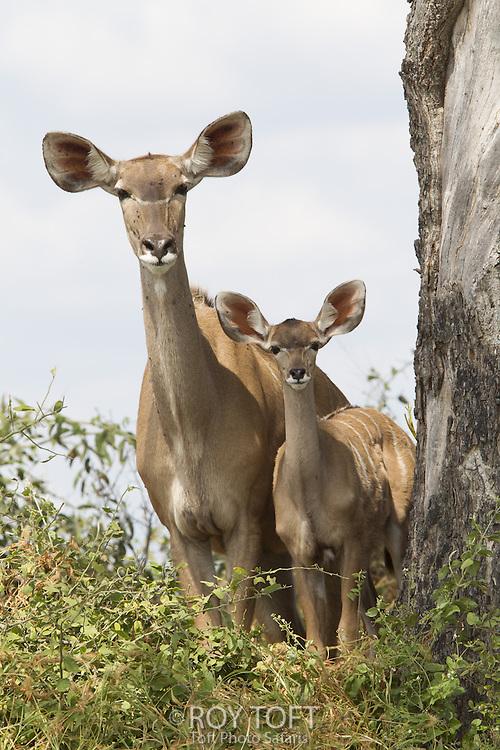 Adult Greater kudu and juvenile, Duba Plains, Botswana