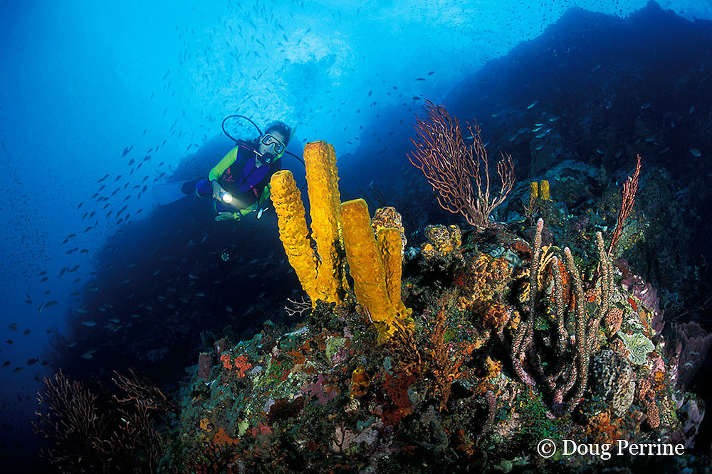 diver examines yellow tube sponges, Aplysina fistularis, at New Guinea Reef, St. Vincent, Saint Vincent and the Grenadines ( Eastern Caribbean Sea )   MR 251