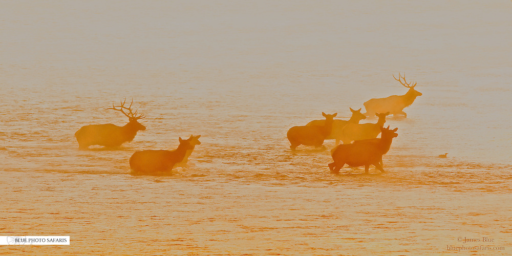Bull elk and his harem crossing the Snake River