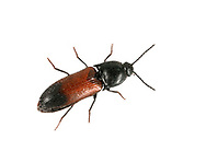 A click beetle - Ampedus balteatus