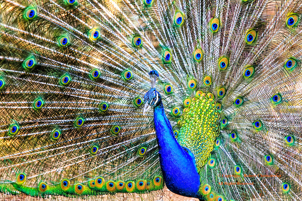 Attraction: A male Indian Peacock seeking to attract a mate, proudly displays his colourful plumage, Pyin Oo Lywin Myanmar.