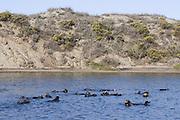 Southern Sea Otter<br /> Enhydra lutris<br /> Monterey Bay,  CA, USA