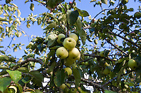Close-up view of green apples growing on tree