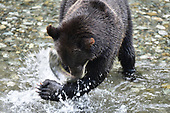 Wildlife: Brown Bear