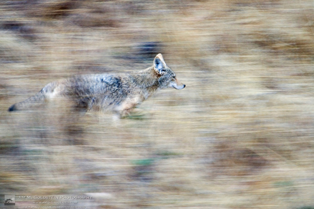 A coyote runs through the hillside blending into his environment